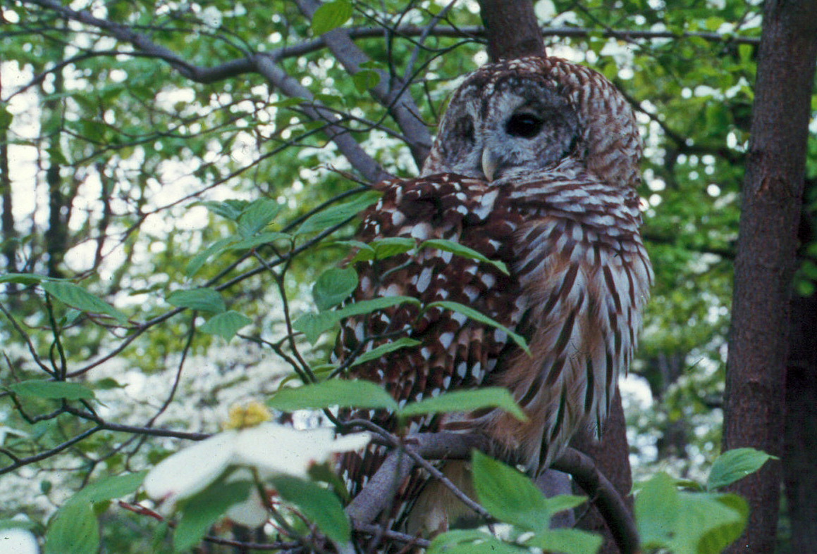Barred owl (Strix varia) | Photo by CUE, NPS