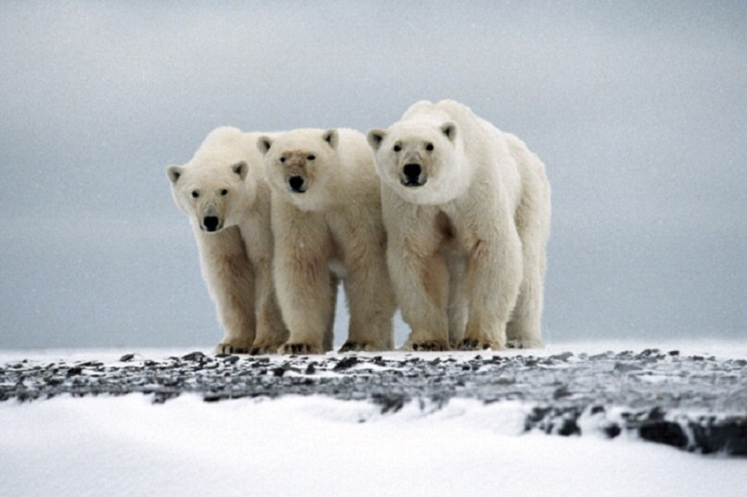A family of polar bears (Ursus maritimus) in Cape Blossom, Alaska | Photo by IFAW