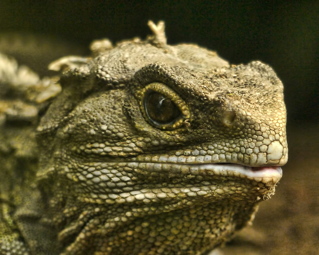 Photo of a tuatara (Sphenodon punctatus) by Sid Mosdell