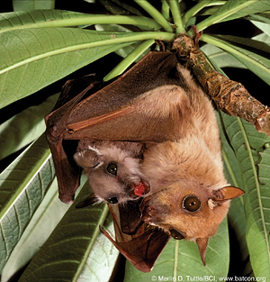 A Gambian epauletted fruit bat mother cradles her pup. © Merlin D. Tuttle / BCI, www.batcon.org