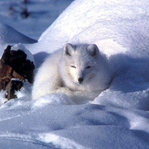 Arctic Fox (Vulpes lagopus). Photo by Keith Morehead, USFWS, CC BY 2.0.
