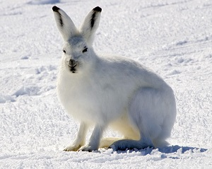 Arctic Hare (Lepus arcticus) in Nunavut | Photo by Steve Sayles