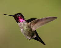 Anna's hummingbird. Photo by Robert McMorran, USFWS.