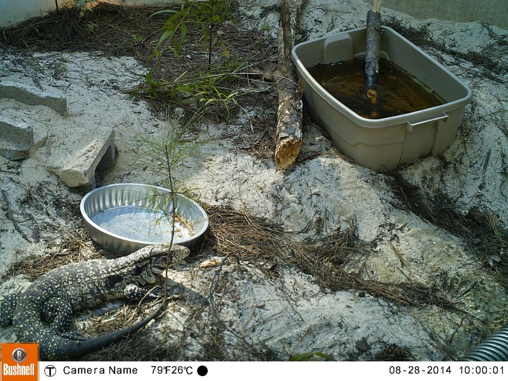 Automatic cameras are used to record tegu behavior in outdoor enclosures