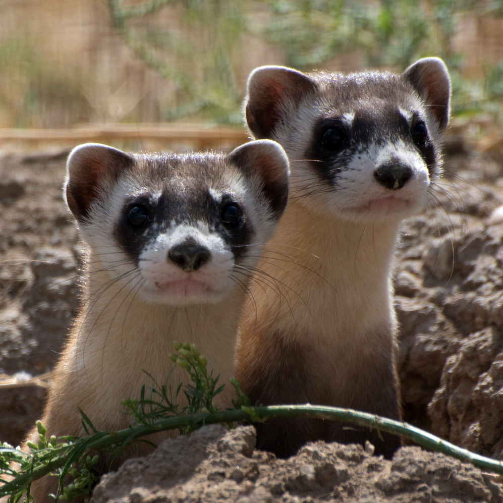 Black-footed Ferret (Mustela nigripes). Photo by Kimberly Fraser, USDA. CC BY 2.0.