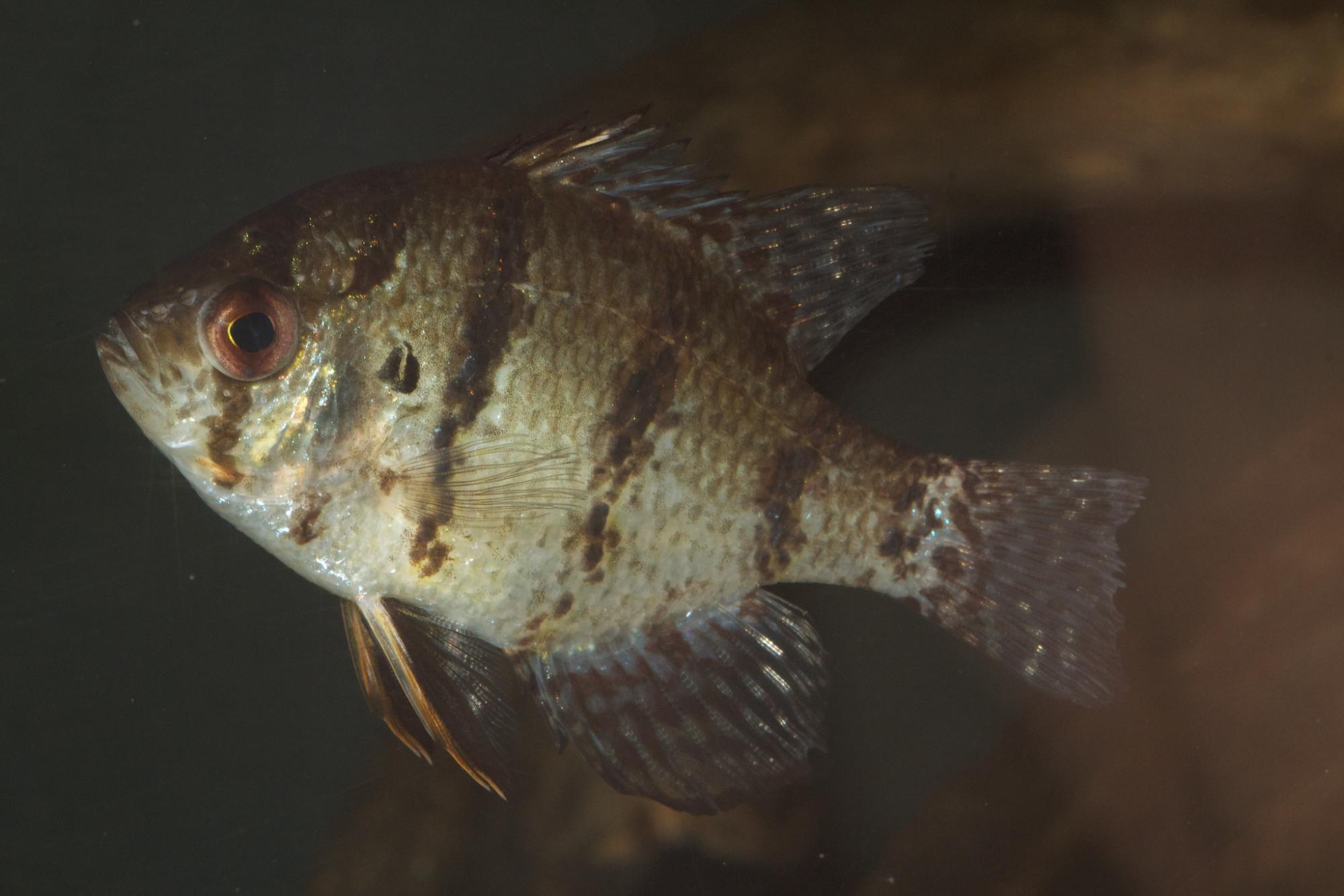 Blackbanded sunfish (Enneacanthus chaetodon) | Photo by  Brian Gratwicke