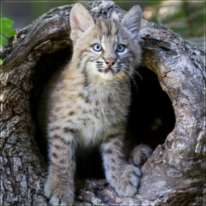 Bobcat (Lynx rufus) by Larry Master. Copyright.