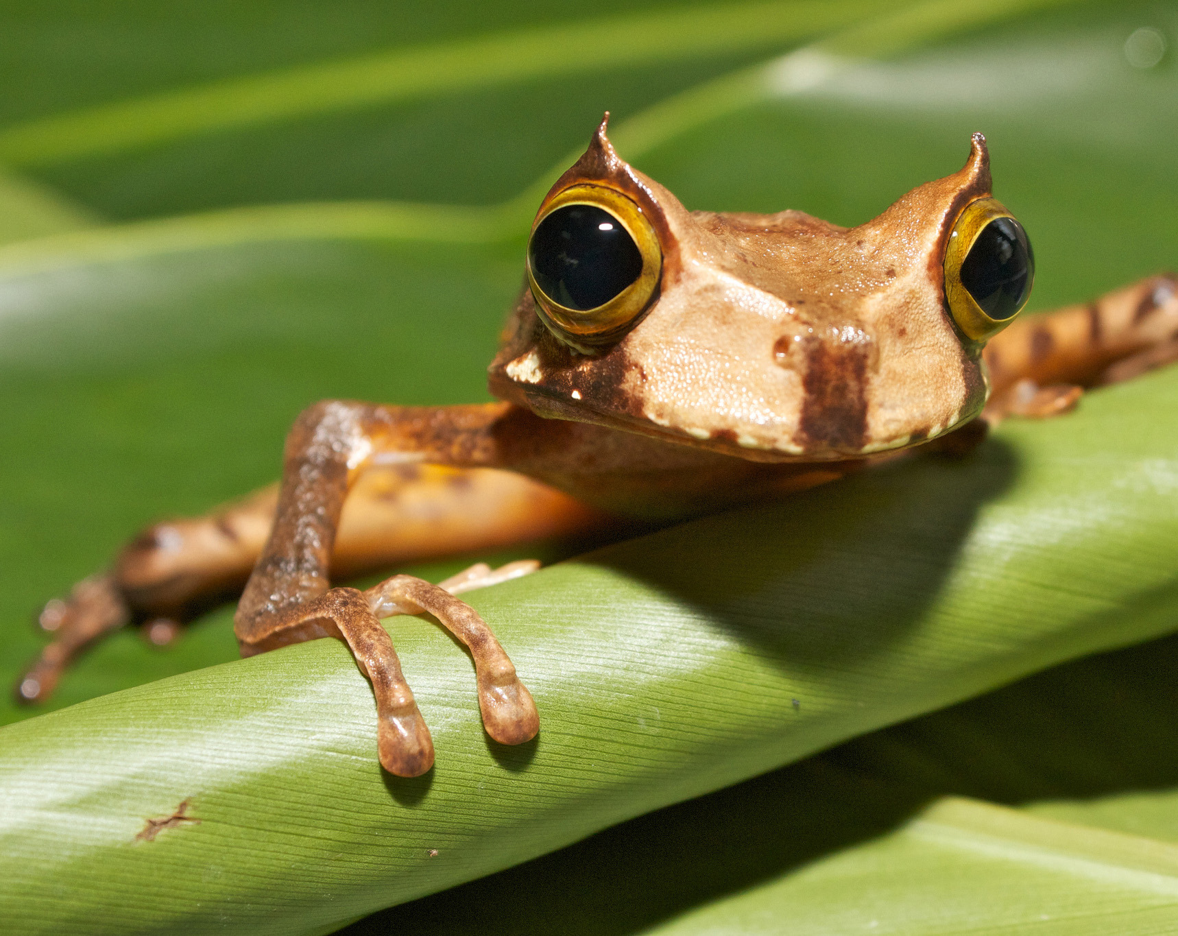 A young horned marsupial frog (Gastrotheca cornuta) in Panama. Photo by Brian Gratwicke