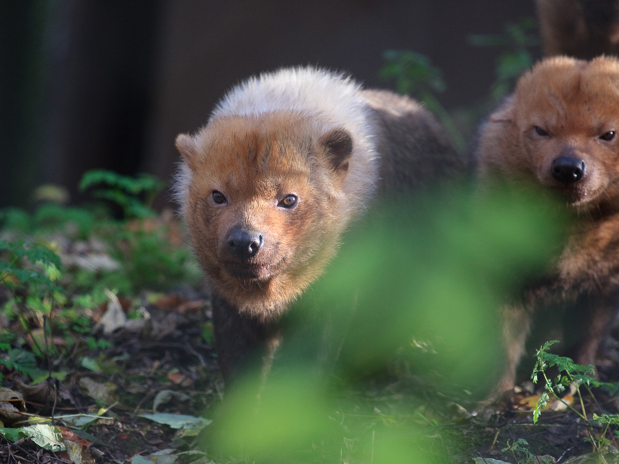 Instituto Biotrópicos made the first sighting of a bush dog in Minas Gerais in 170 years. Photo by  Paul Reynolds