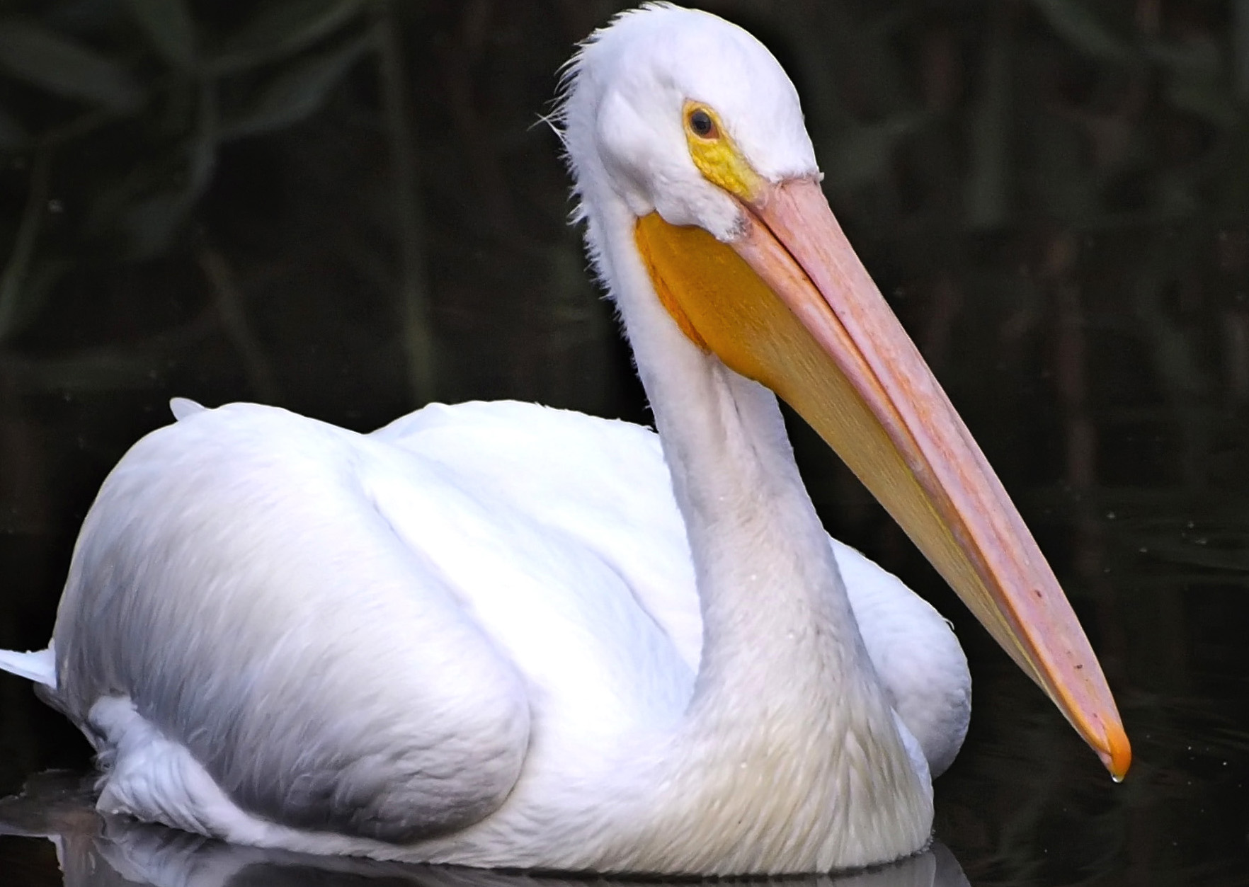 American white pelican (Pelecanus erythrorhynchos). Photo by Ingrid Taylar.