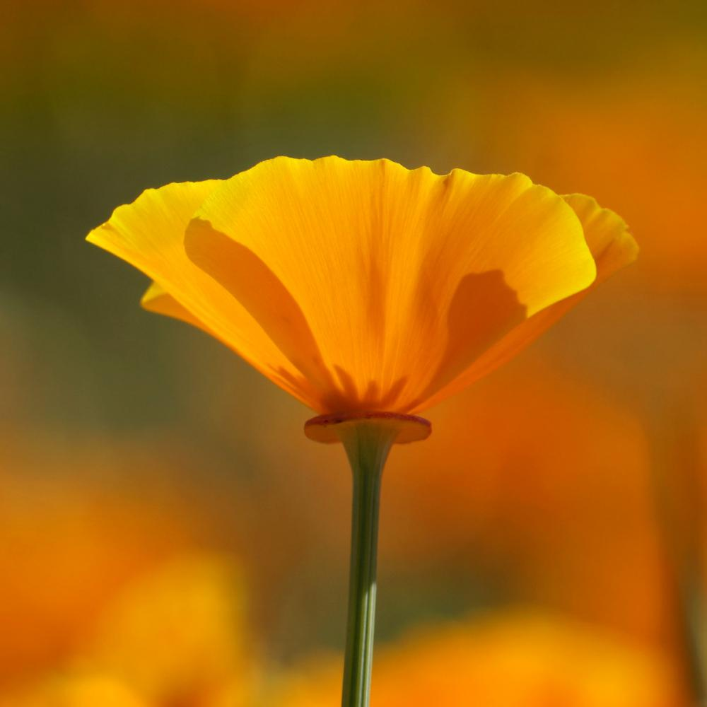 California Poppy (Eschscholzia californica). Photo by Jill Bazeley, CC BY-NC 2.0.