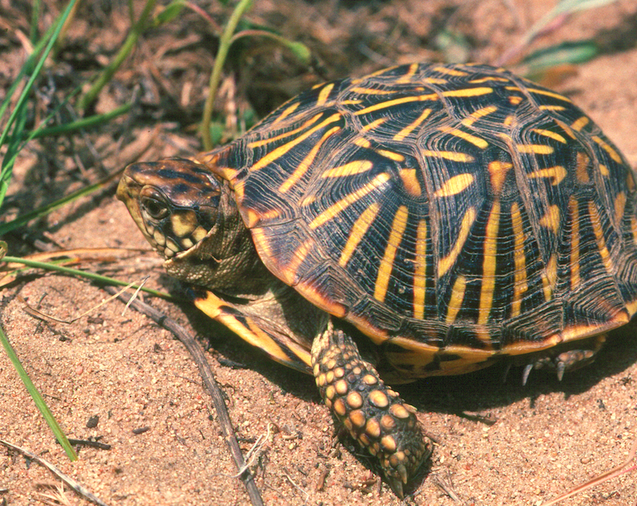 An ornate box turtle (Terrapene ornata). Photo by Geoff Hammerson | NatureServe