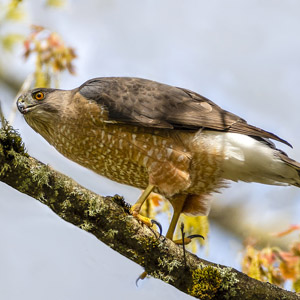 Cooper's Hawk (Accipiter cooperii). Photo by Colin Durfee, CC BY 2.0.