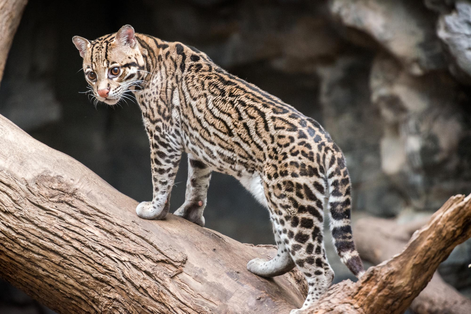 Ocelot standing on a branch | Photo by Eric Kilby
