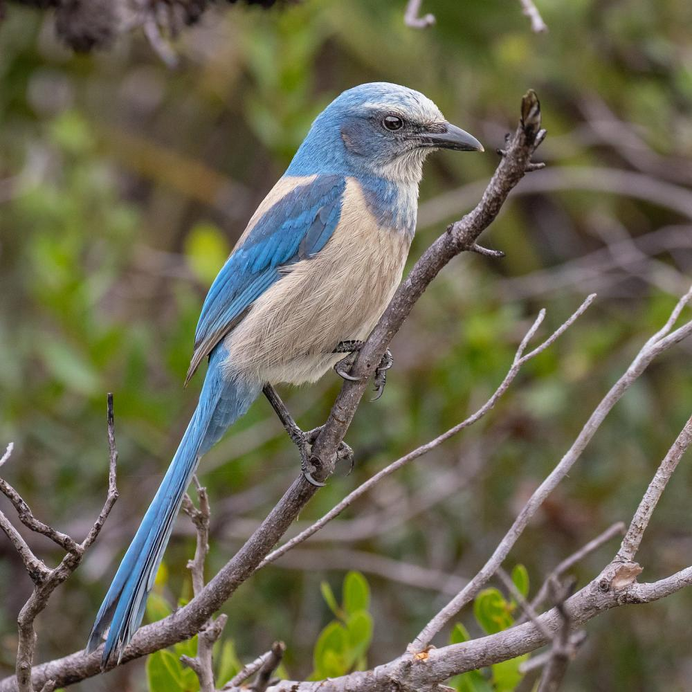 Florida Scrub Jay (Aphelocoma coerulescens). Photo by Mike Carlo, USFWS. CC BY 2.0.