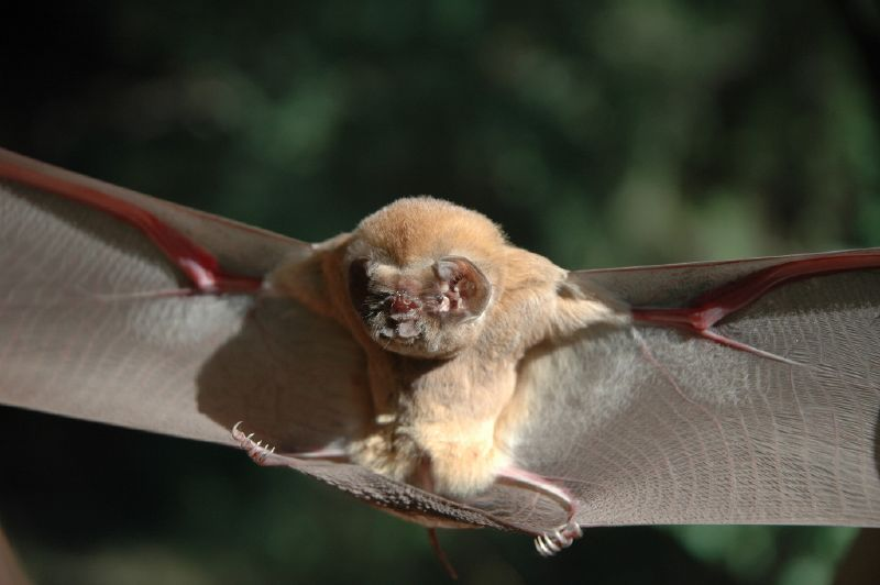 Ghost-faced bat (Mormoops megalophylla) Secure. Photo: TN AngelFace 05, Flickr