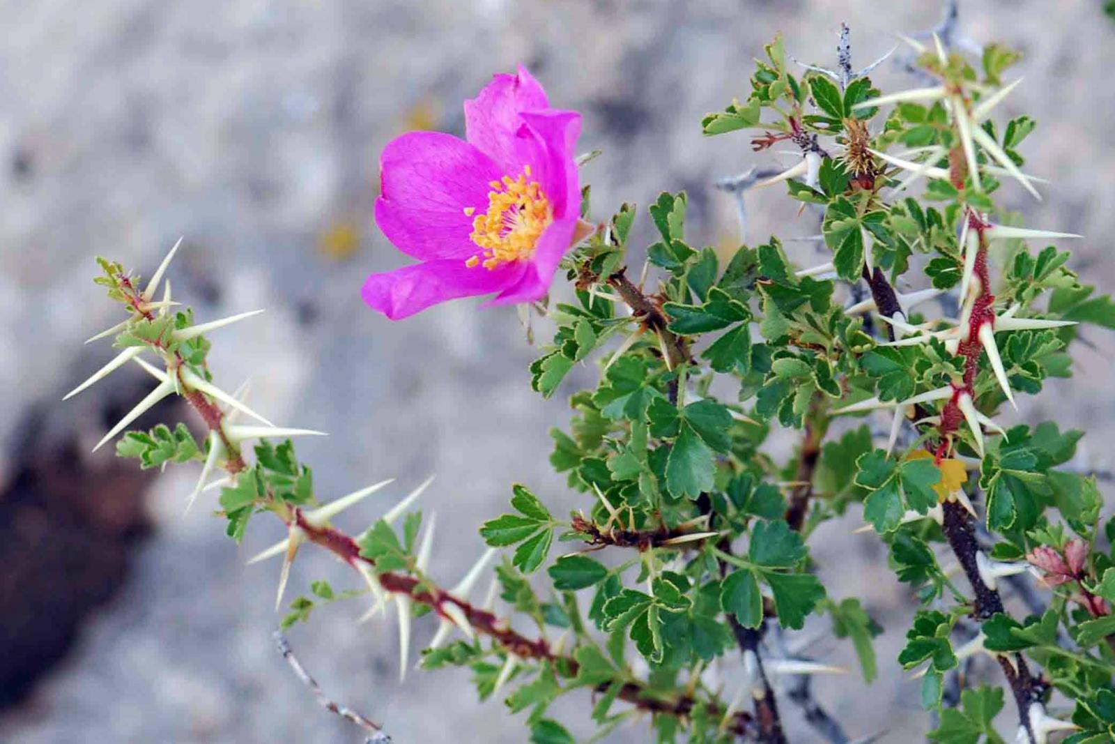 "NatureServe ranks the desert rose (Rosa stellata) as ""vulnerable"" in New Mexico and ""imperiled"" in Arizona. 