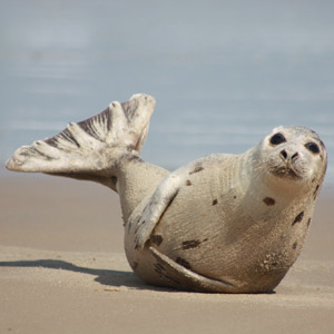 Harp Seal (Pagophilus groenlandicus). Photo by Virginia State Parks, CC BY-NC-ND 2.0.