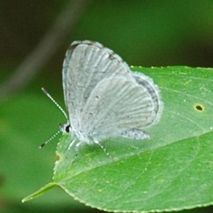 Hops Azure (Celastrina humulus). Photo by Catherine Cook, CC BY-NC-ND 2.0.