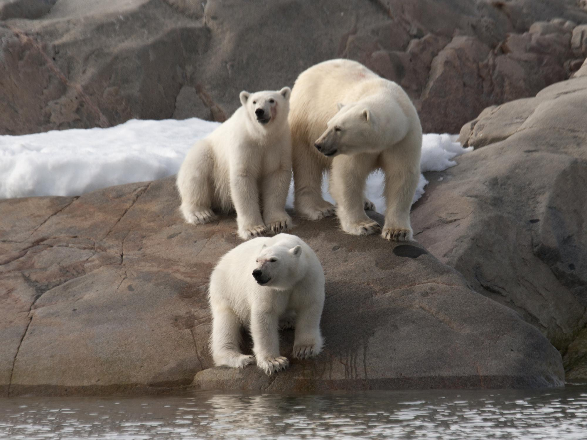 Photo of polar bears in Wapusk National Park | Photo by Larry Master