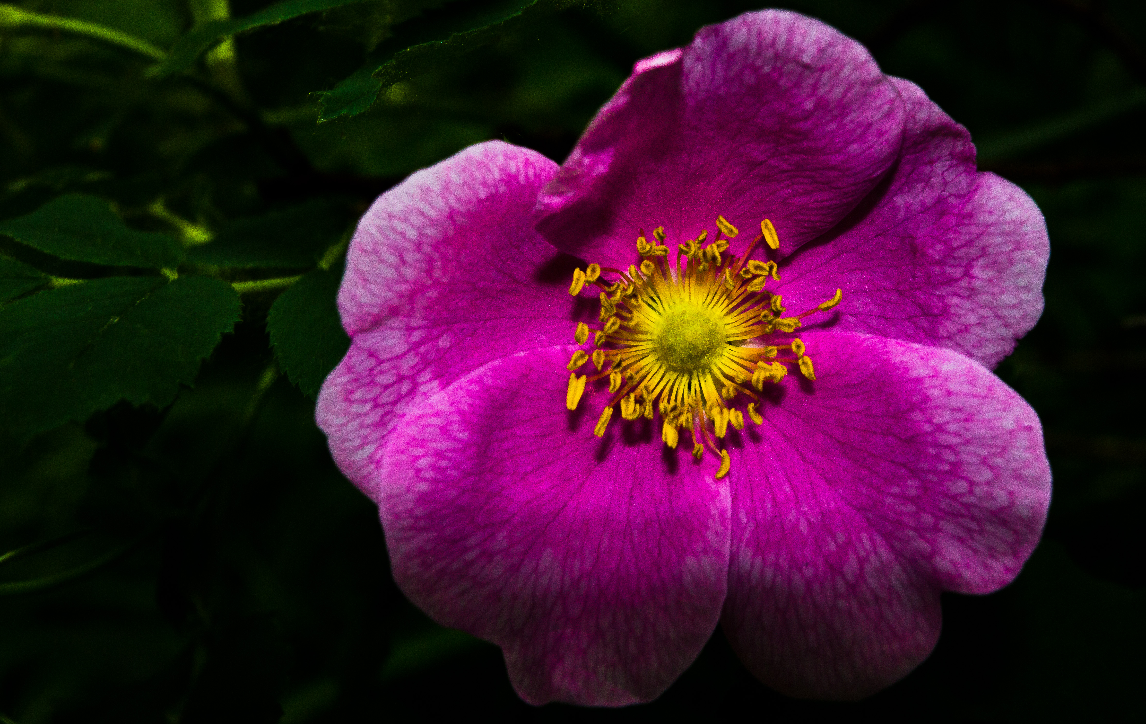 Official flower of Alberta, the prickly rose (Rosa arcicularis) is in danger of disappearing from other parts of its range, particularly in New England. | Photo by Kelly Marcum on Flickr