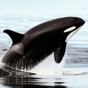 Killer Whale (Orcinus orca), Photo by Christopher Michel, CC BY 2.0.