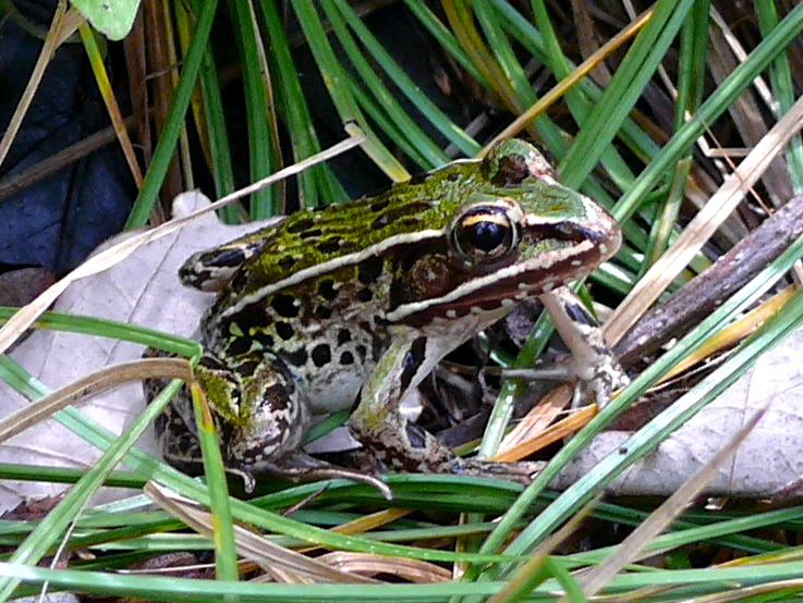 This specimen of the still-unnamed leopard frog species was spotted in the Hudson River Valley in 2008. Photo by Matt Schlesinger