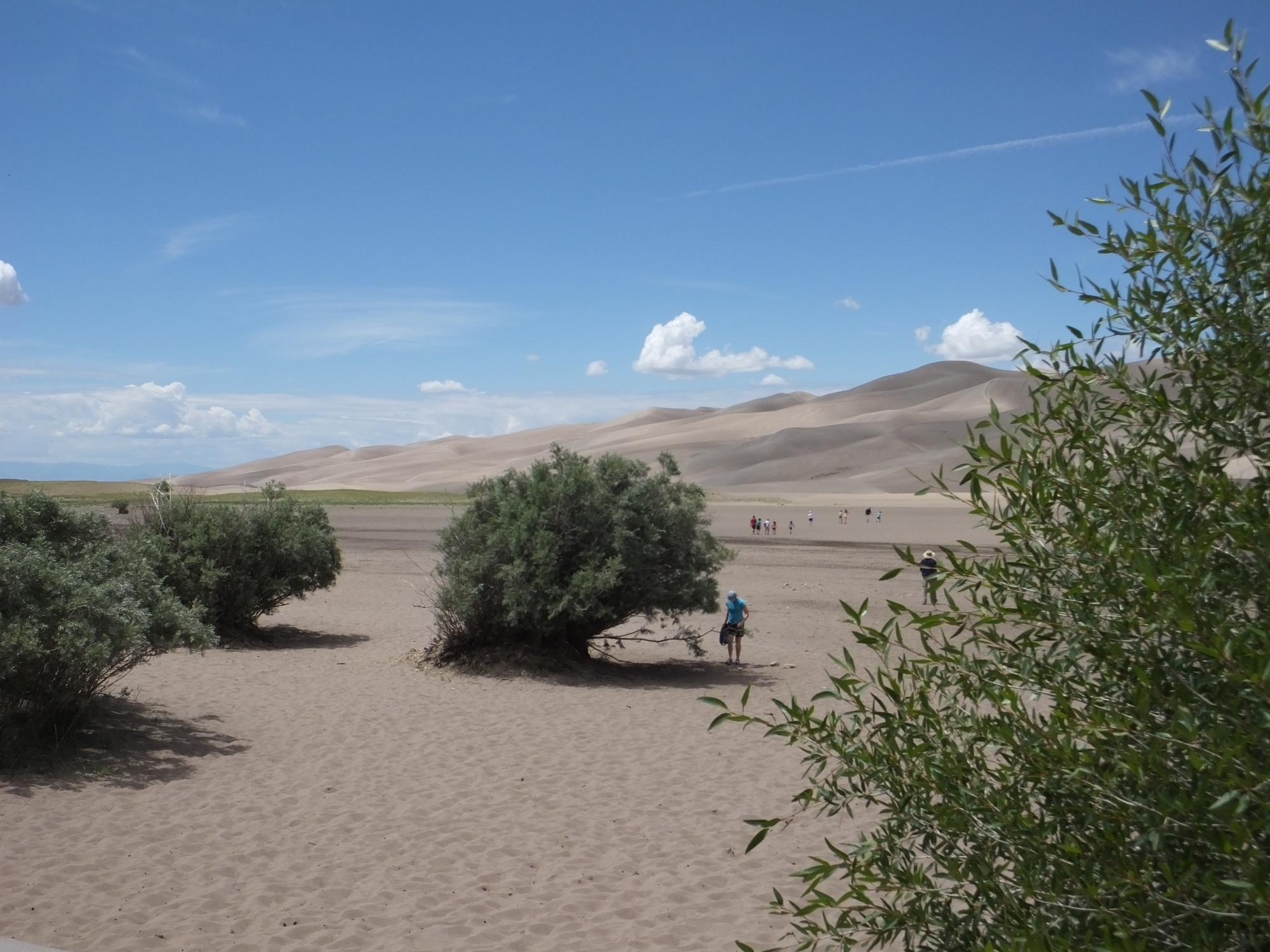 Narrowleaf cottonwood at Great Sand Dunes National Park in Colorado.