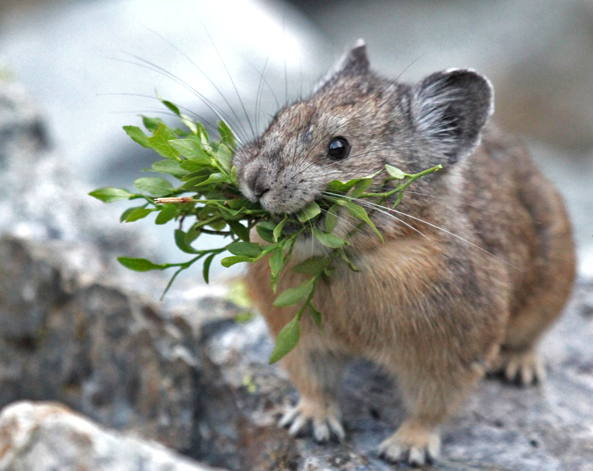 The American pika thrives in the cooler temperatures and alpine vegetation of rocky slopes near the tops of mountains. As temperatures rise, the pika is forced to move farther up the mountain—constricting its natural range and crowding into existing habitats.