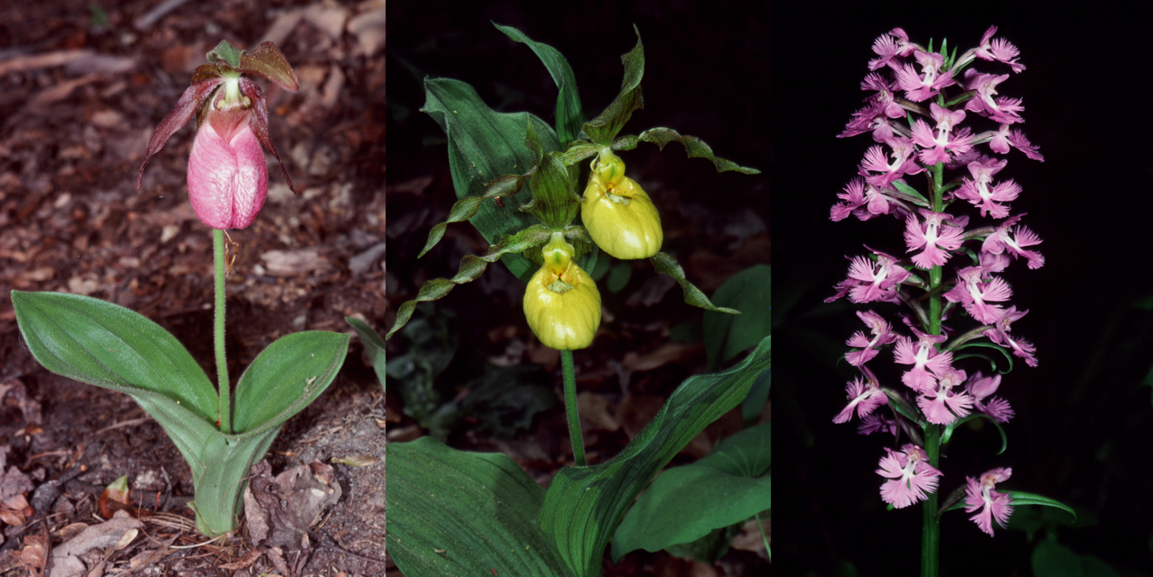A 2014 report co-authored by Wesley Knapp of the Maryland Natural Heritage Program details the decline of nearly two dozen orchid species in the Catoctin Mountains, including (from left) the Pink lady slipper orchid, the Lady's slipper orchid, and the Large purple fringed orchid | Photos by Richard Wiegand