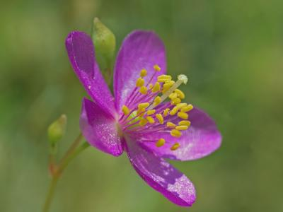 The Piedmont Fameflower | Photo by Gary P. Fleming for the Virginia Natural Heritage Program