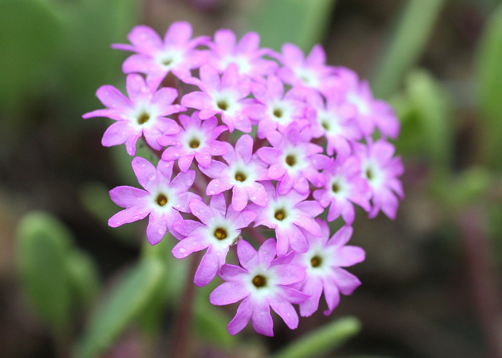 The Pink sand verbena is one of many successful outcomes of the partnership between NatureServe and Parks Canada. The flower was last seen in Canada in 2001. In 2007, it was reintroduced into Pacific Rim National Park Reserve. A year later, much of its critical habitat was protected. Photo by David A. Hoffman