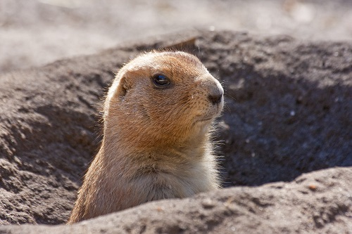 Black-tailed prairie dog (Cynomys ludovicianus) | Photo by Larry Master
