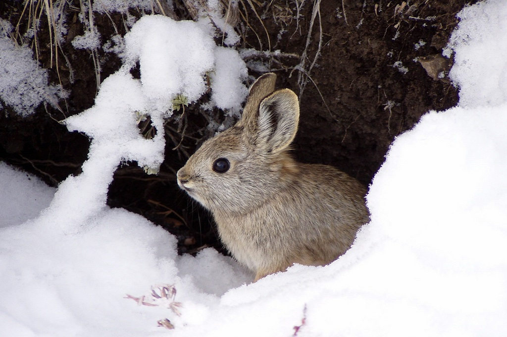 Pygmy rabbit (Brachylagus idahoensis) | Photo by R. Dixon (IDFG) and H. Ulmschneider (BLM)