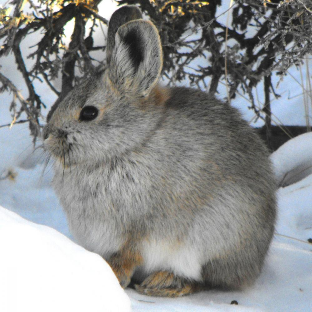Pygmy Rabbit (Brachylagus idahoensis). Photo by Beth Waterbury, Idaho Department of Fish and Game.