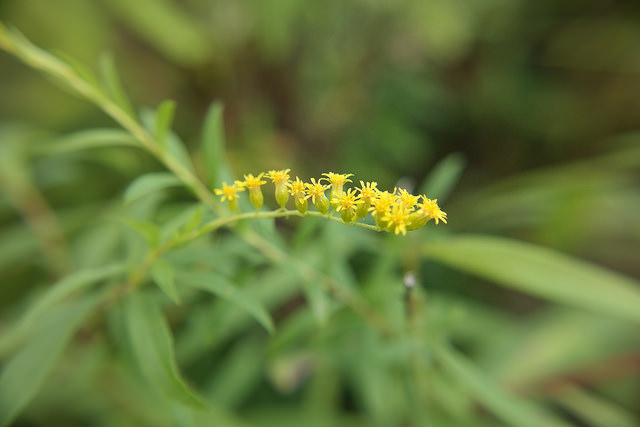 Collaboration between NatureServe and the Maryland Natural Heritage Program has resulted in the rediscovery of eight species, including this rock goldenrod (Solidago rupestris). | Photo by Wes Knapp