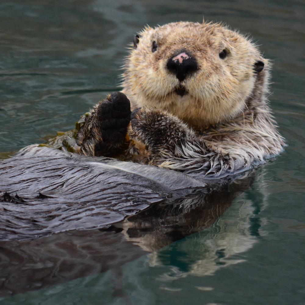 Sea Otter (Enhydra lutris). James Brooks, CC BY 2.0.