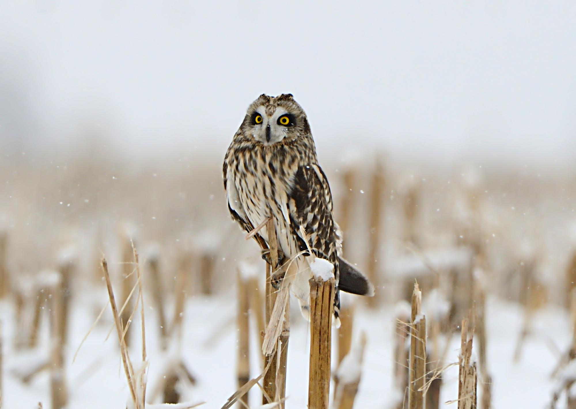 The short-eared owl migrates seasonally throughout its range, which includes every continent except Australia and Antarctica. | Photo by Dave Inman.