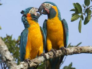Blue-throated Macaw numbers only about 300 in the wild – but it's hoped that the population will increase through acquisition of the new reserve and ongoing nest box program. Photo by Daniel Alarcon