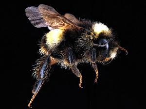 The yellow-banded bumble bee. Photo by USGS Native Bee Inventory and Monitoring Laboratory