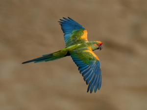 Red fronted macaw (Ara rubrogenys) | Photo by Steffen Reichle, Asociacion Armonia