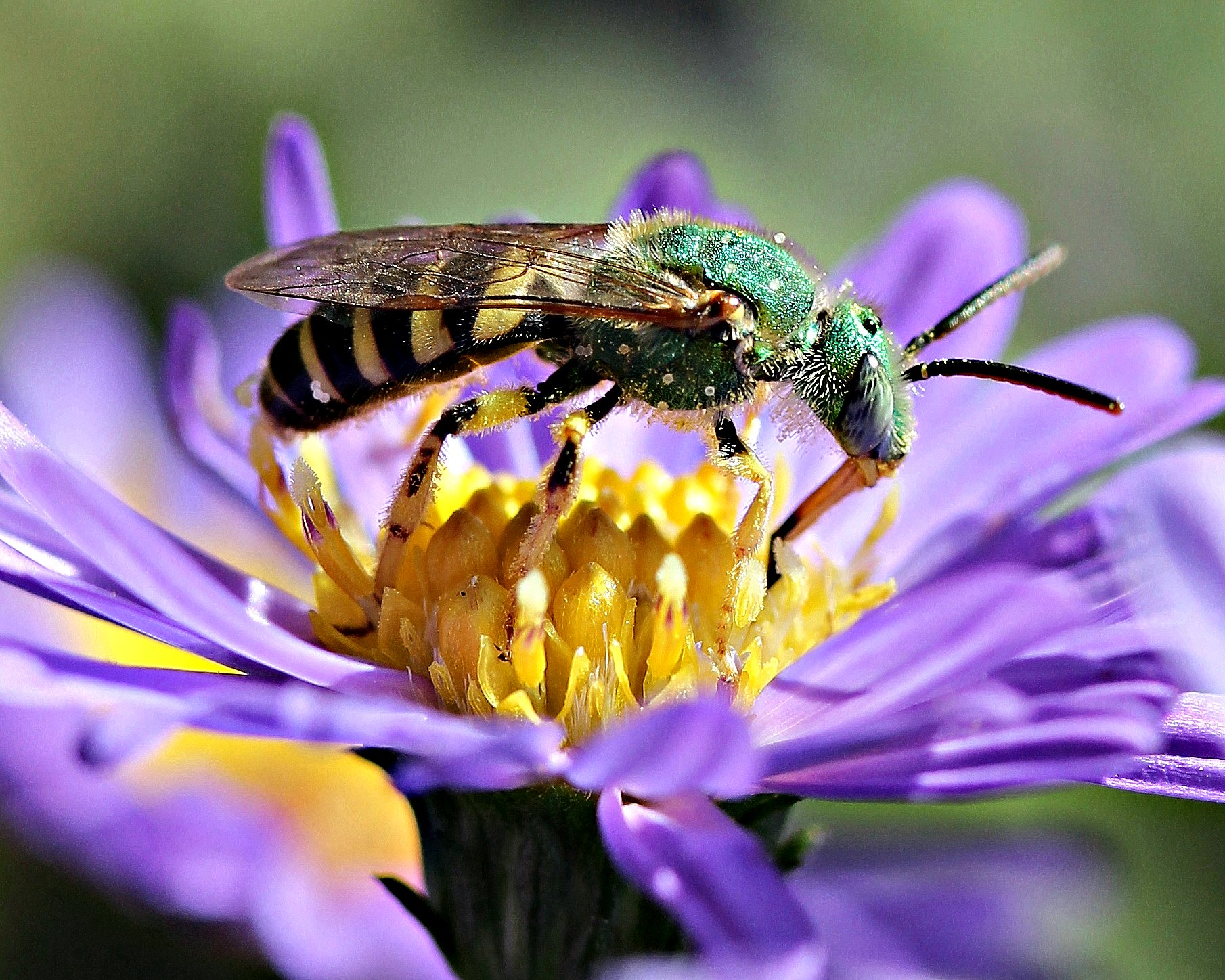 Sweat bees are one of the more obscure pollinator species that NatureServe believes need more scientific scrutiny. Photo by Patty O'Hearn Kickham