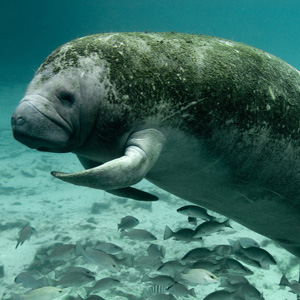 West Indian Manatee (Trichechus manatus). Photo by Keith Ramos, USFWS, CC BY 2.0.