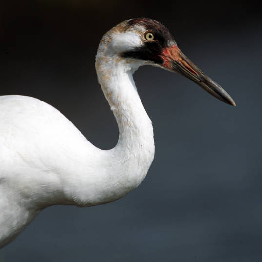 Whooping Crane (Grus americana). Photo by Ryan Hagerty, USFWS. CC BY 2.0.